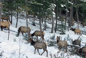 Elk Herd Backyard Winter 2010