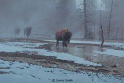 Yellowstone Procession